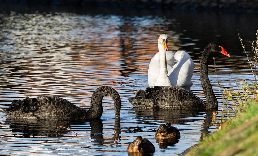 Black Swan _Blog_Image_Resized_ 23 July 2019